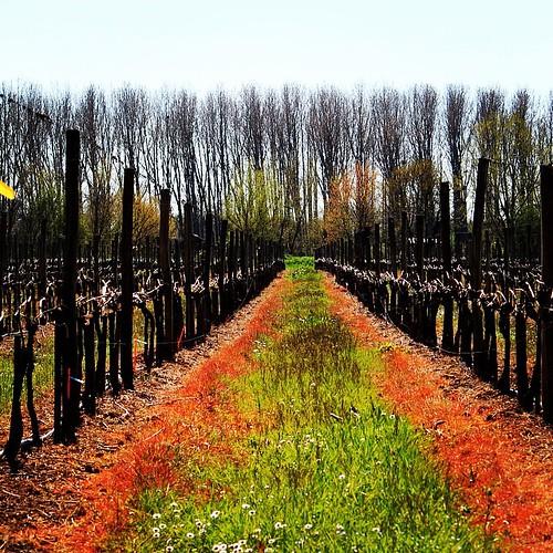 Le printemps arrive sur les vignes de l'Entre-deux-mers #spring #printemps #vignes #vine #vineyard #green #paysage #tourism #terroir #tourisme #insta #entredeuxmers #igersgironde