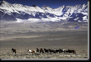 Idaho Mustangs, Snow Capped Peaks