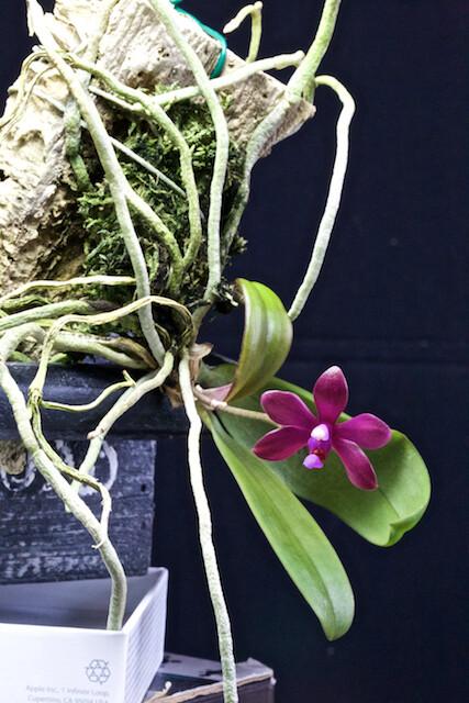 Phalaenopsis braceana x bastianii 16892917532_254815b4e5_z