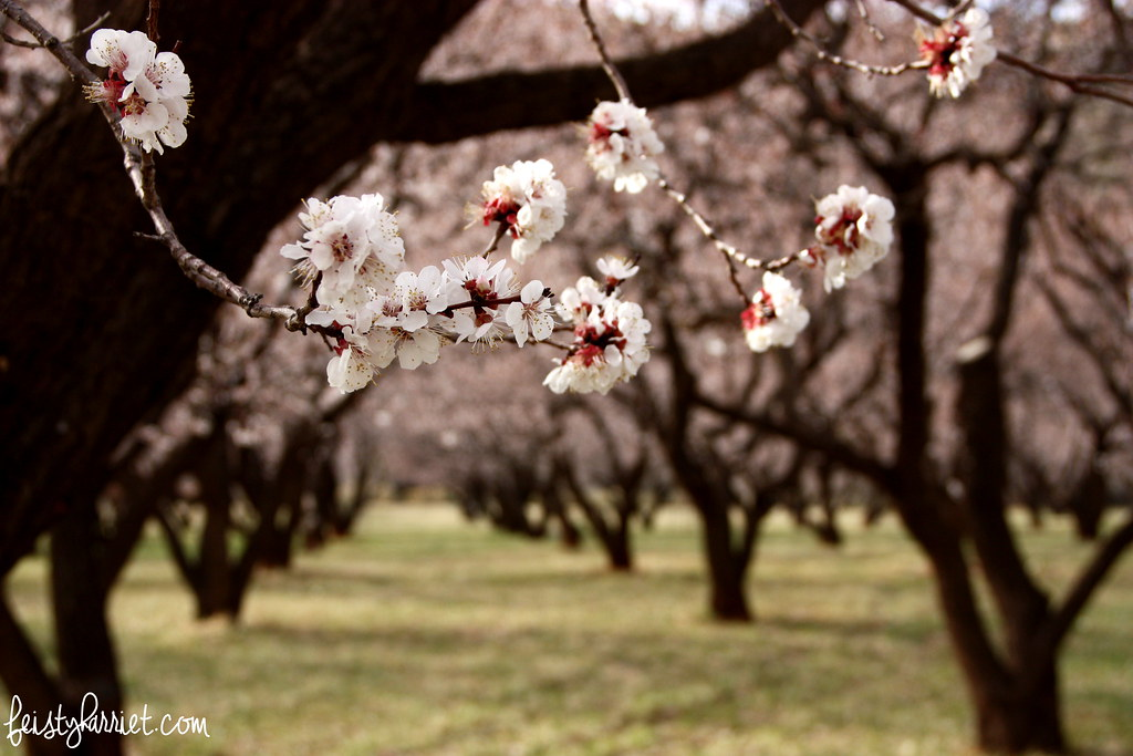 Capitol Reef Fruit Orchard_feistyharriet_March 2015 (6)