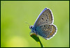 Common Blue (Polyommatus Icarus  כחליל השברק )