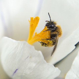 Crocus & the Bee