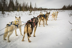 animal, dog, winter, snow, pet, mammal, mushing, greenland dog, land vehicle, sled dog racing, sled dog,