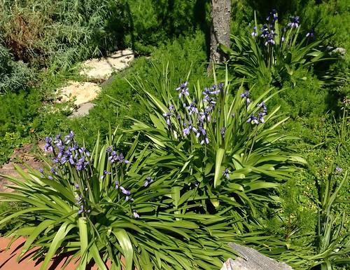 Wood Hyacinth 500 x 385