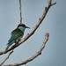 Blue throat Bee eater by Tok Ki, an idiot with cameras