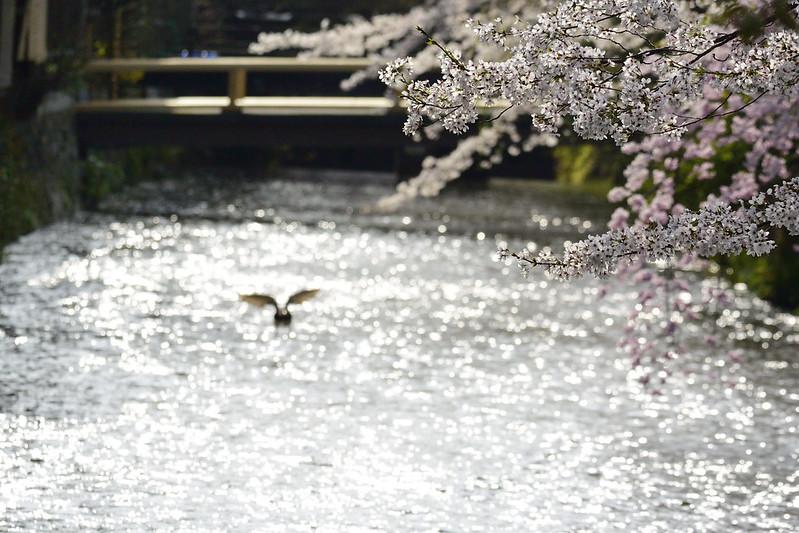桜の京都 白川南通