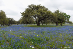 Bluebonnet Field...2015
