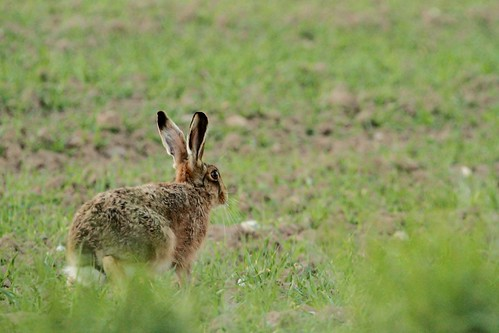Hare in Fansipan Mountain