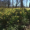Fantastic spring daffodils at Mellerstain House #scotland #spring #flowers