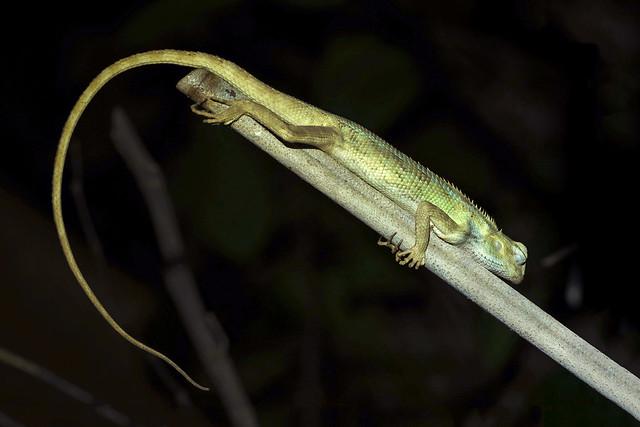 seahtm_lizard