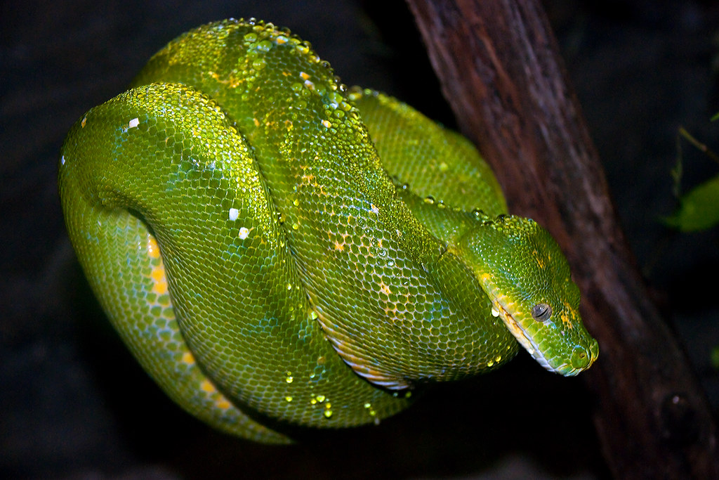 Green Tree Python, Bioparc Fuengirola, Andalusia, Spain