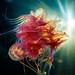 Cyanea capillata colour by Alexander Semenov