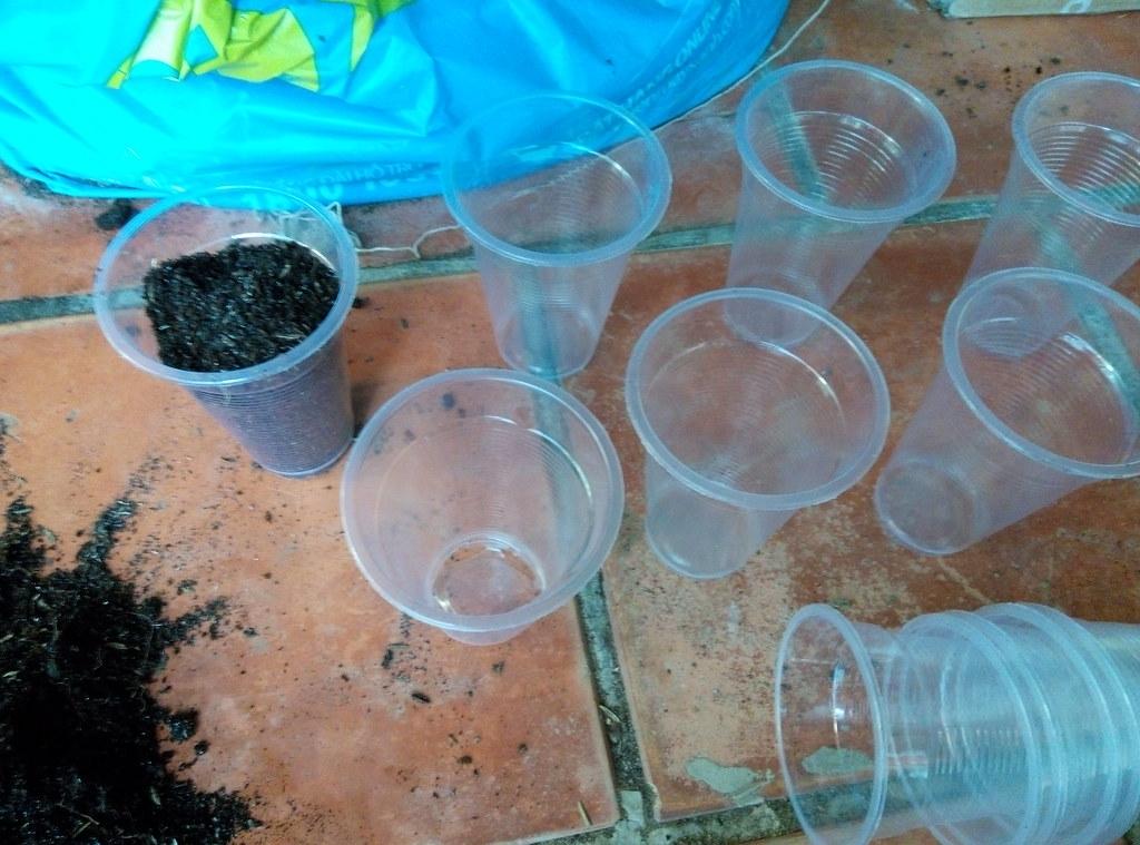 Sử dụng ly nhựa để đựng cành hồng giâm