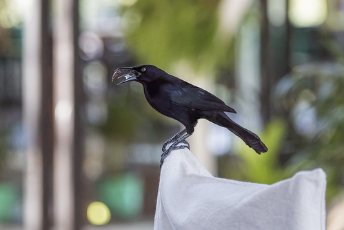 grackle stlucia saintlucia ansechastanet