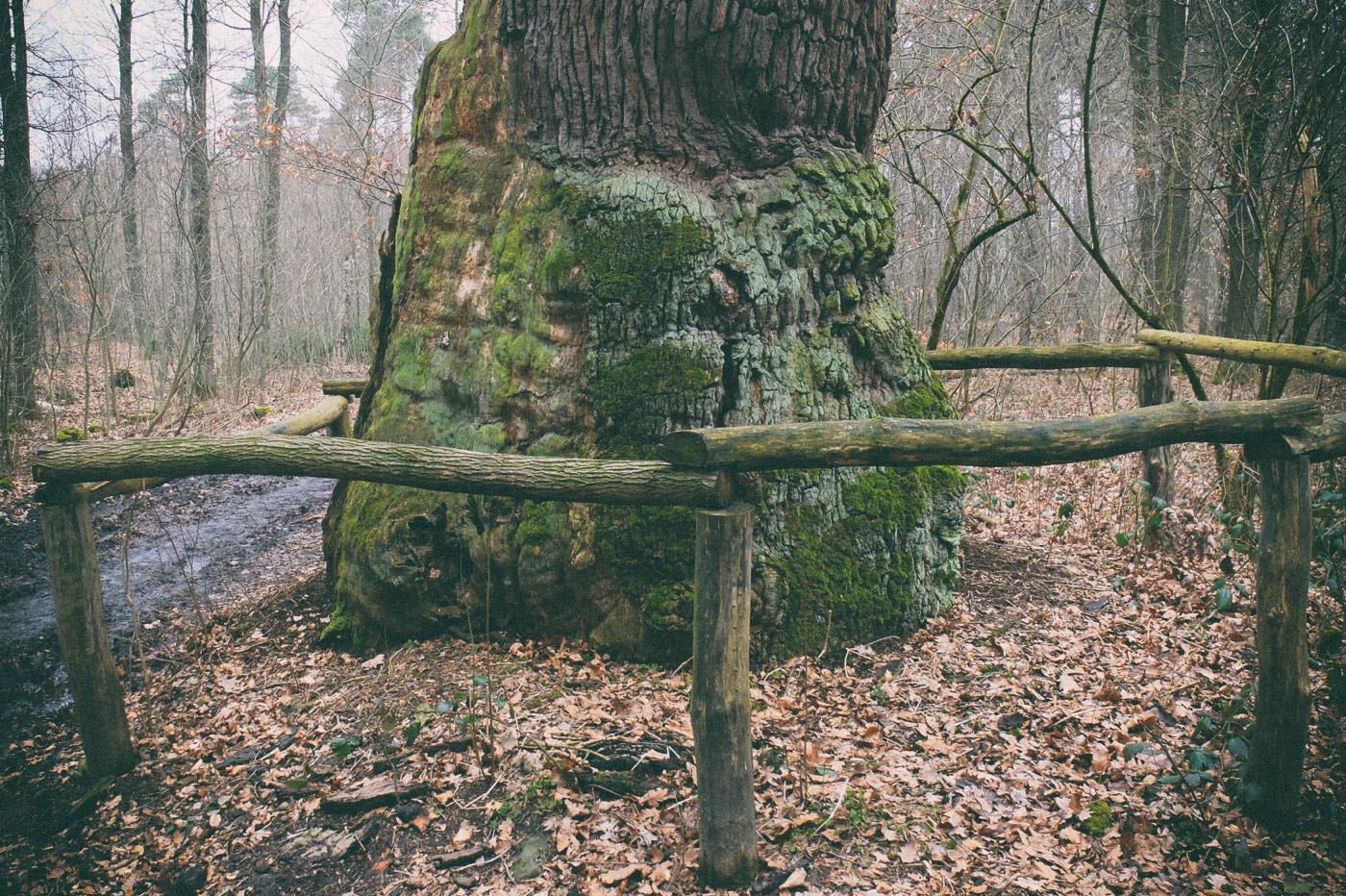 Rieseneiche im Sauerbusch