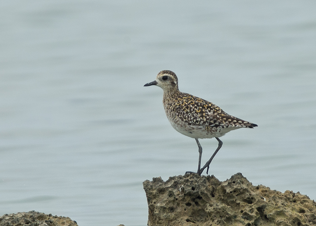 Pacific Golden Plover   Thailand