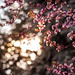 Cherry Blossoms 1 by thethomsn