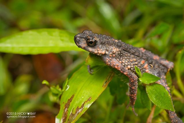 Dwarf toad (Pelophryne sp.) - DSC_2837