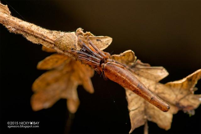 Trashline orb web spider (Cyclosa sp.) - DSC_3355