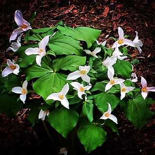Trilliums, Laurelhurst Park