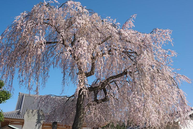 東京路地裏散歩 谷中の桜 谷中から上野へ 2015年3月25日