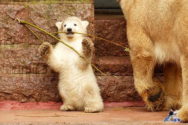 Eisbär Taufe Fiete Zoo Rostock 31.03.21015 174