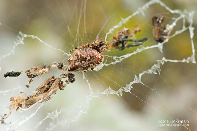Trashline orb web spider (Cyclosa sp.) - DSC_4941