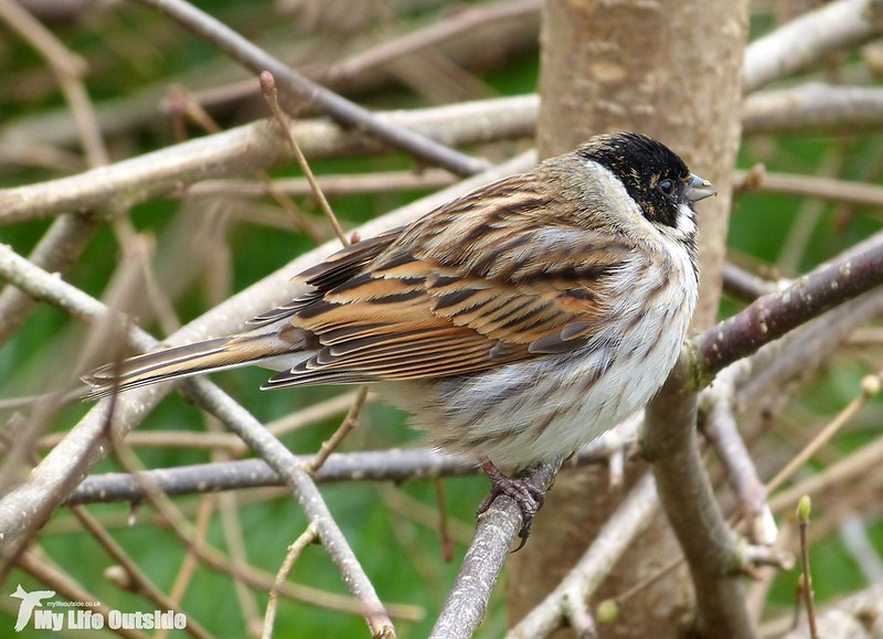 P1110259 - Reed Bunting, Forest Farm