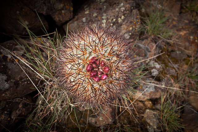 Hedgehog Cactus with Blossom Buds