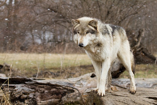 Wolves at Wolf Park IN
