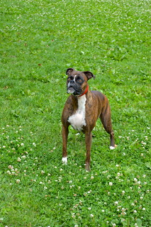 Roxy the Boxer at the Park 3