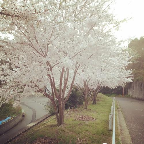 桜@ヘアピンカーブ