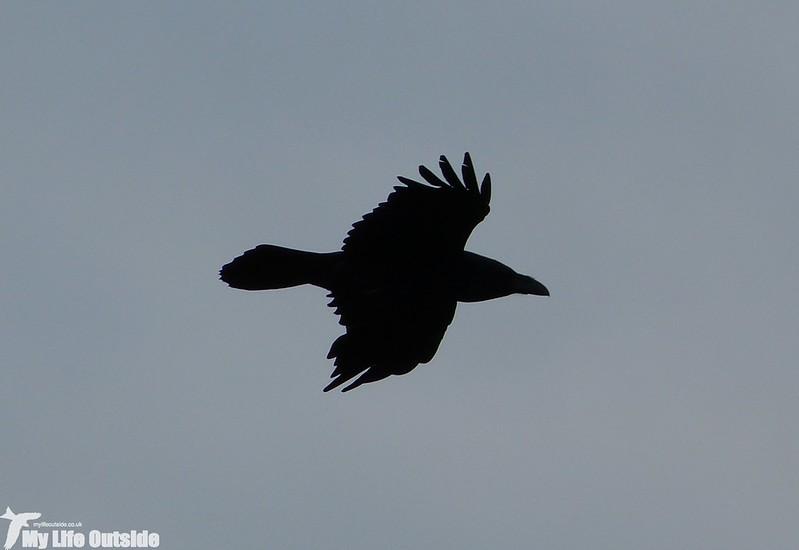 P1120303 - Raven
