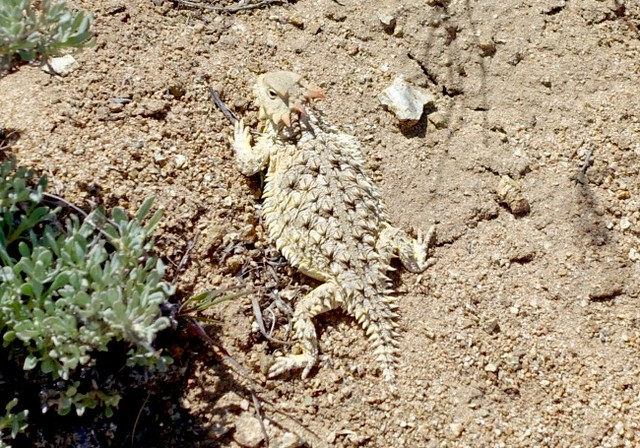 Horny toad m619