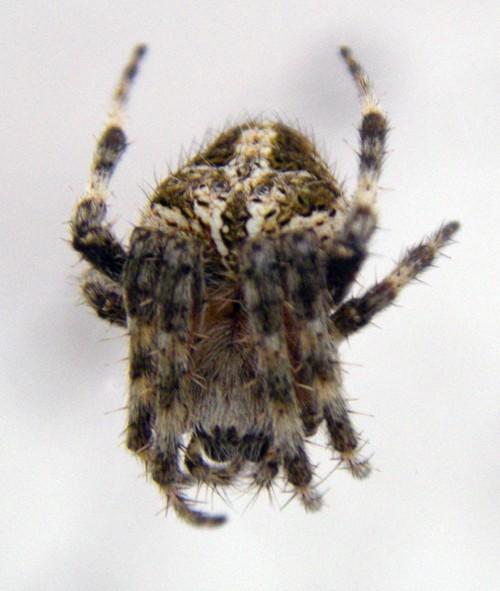 Araneus bufo 17058182458_c5143a254a_o
