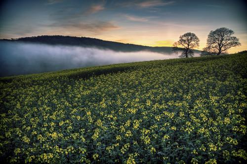 sunset england cloud rural landscape countryside spring farming devon oaktrees day103 oilseedrape lowcloud hss seafog 365project 103365 sliderssunday 365the2015edition seafogrollingupadevonvalleyatdusk