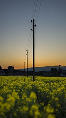 Rapeseed in sunset