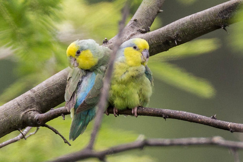 birds vulnerable endemic peru balsas yellowfacedparrotlet birddescriptors cajamarcaregion pe