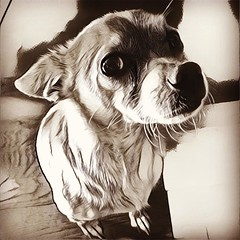 Ranger's been filtered. #prisma #hefe #chihuahuaoftheday #dogsofinstagram