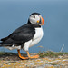 Atlantic Puffin by NicoleW0000