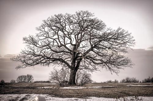 Bur oak (Quercus macrocarpa - Fagaceae) in a farm field in late winter