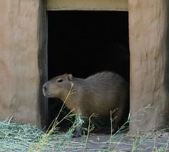 rat(0.0), muridae(0.0), mink(0.0), wildlife(0.0), animal(1.0), rodent(1.0), fauna(1.0), capybara(1.0), whiskers(1.0),