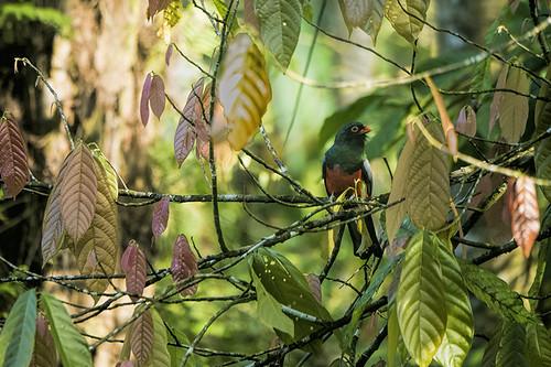 Honduras: Slaty-tailed Trogon