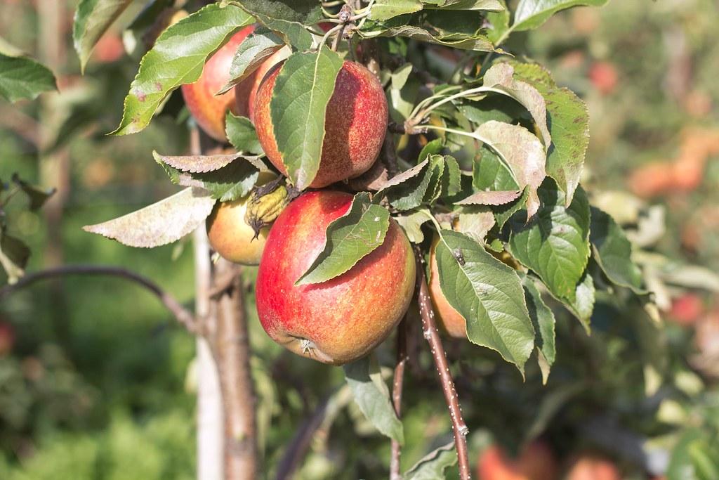 Æblemost (29)