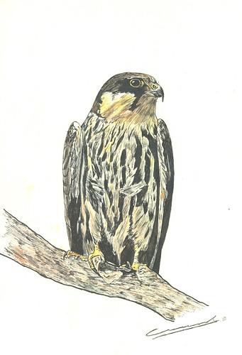 Alcotán (Falco subbuteo)