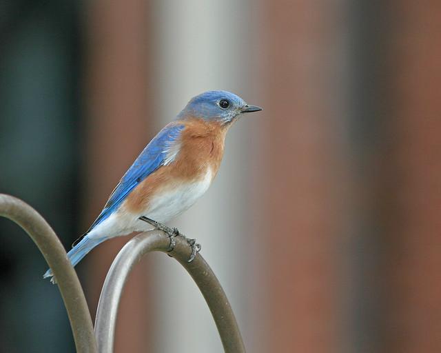 Eastern Blue Bird 20d_8585