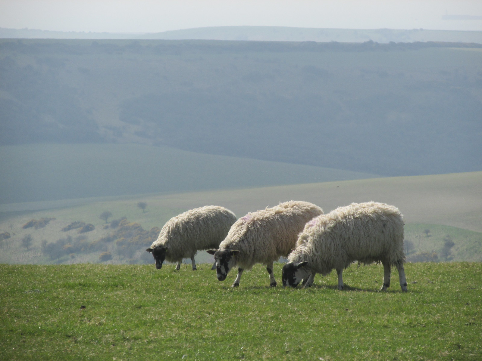April 6, 2015: Glynde to Seaford Sheep on South Downs