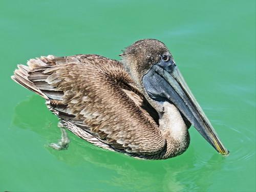Brown Pelican 20150409