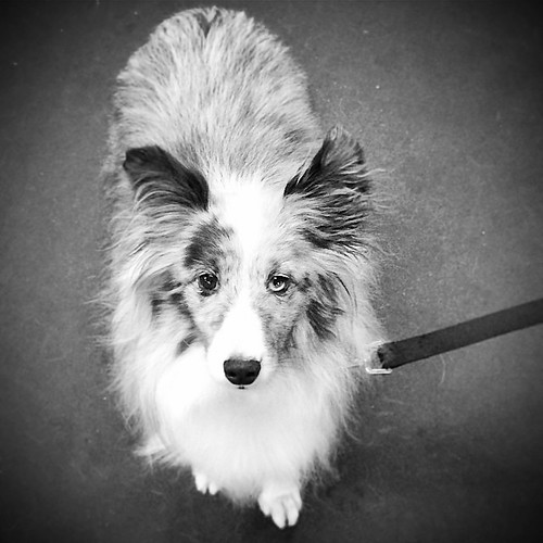 Ian was recently adopted by his foster parents. He came to MN Sheltie Rescue 3 years ago. He was a puppy mill breeding dog. What progress!!! #MNSR #Sheltie