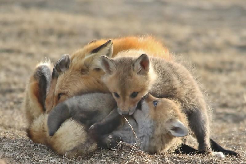 Fox kits at the beach